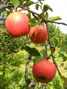 Free Very Tasty And Ripe Apples Royalty Free Stock Photos - 28541988