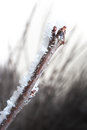 Free Chery Branch Covered In Ice Royalty Free Stock Photography - 28547117
