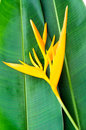 Free Heliconia Flowers Stock Photo - 28547650