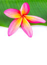 Free Plumeria Flower Royalty Free Stock Photography - 28547657
