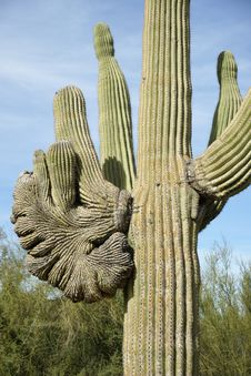 Free Crested Saguaro Royalty Free Stock Photos - 28540868