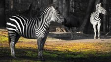 Free Zebra Zoo Stock Photos - 28542133