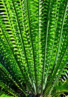 Free Karoo Cycad E Lehmannii Royalty Free Stock Photos - 28544318