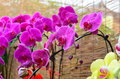 Free Moth Orchid Stock Images - 28551614
