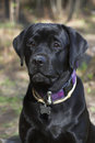 Free Black Labrador &x28;2 Years&x29; Stock Images - 28558364