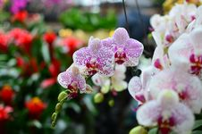 Free Moth Orchid Stock Image - 28551751