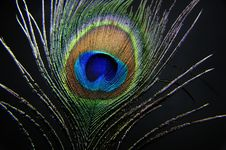 Free Peacock Feather Closeup Stock Photography - 28554552