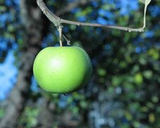 Free Green Apple On A Branch Stock Photography - 28555952