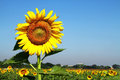 Free Big Sunflower Higher Stock Images - 28561784