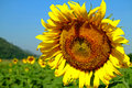 Free Sunflowers Green Background Stock Photos - 28561843