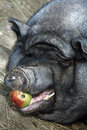 Free A Big Pot-bellied Pig Royalty Free Stock Image - 28566976
