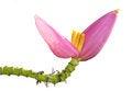 Free Isolates Banana Blossom. Royalty Free Stock Photo - 28567485