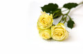 Free Yellow Rose Isolated On White Royalty Free Stock Photography - 28570777