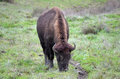Free Bison Eating Stock Image - 28573691