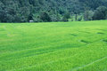 Free Green Terraced Rice Field Of Thailand Stock Images - 28577384