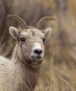 Free Big Horn Sheep Ewe Stock Images - 28578264