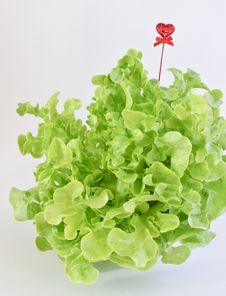 Free Green Oak Leaf Lettuce With Heart Stock Photos - 28570493