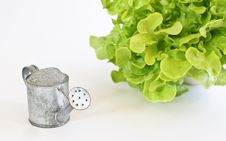 Free Green Oak Leaf Lettuce With Tin Watering Can Isolated On White Background Stock Photos - 28570603