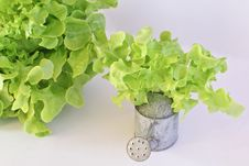 Free Green Oak Leaf Lettuce With Tin Watering Can  On White Background Royalty Free Stock Image - 28570776