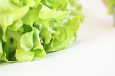 Free Closeup Fresh Green Oak Leaf Lettuce Royalty Free Stock Image - 28570826