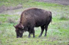 Free Eating Bison Royalty Free Stock Photos - 28573648