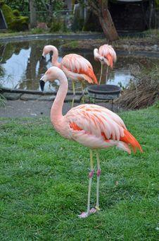 Free Pink Flamingos Stock Images - 28573924