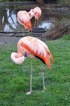 Free Pink Flamingos Royalty Free Stock Photo - 28573945