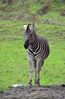 Free Zebra Stock Photo - 28574410