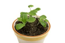Free Close Up Of Young Plants In Flower Pot XXXL Stock Photos - 28574563