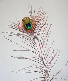 Real Peacock Feather Stock Images