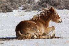 Free Wild Mustang Horses Of Wyoming Stock Image - 28578091