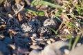 Free Killdeer Bird Eggs Stock Photography - 28580622