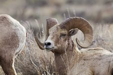Free Big Horn Sheep Rams Royalty Free Stock Photography - 28580587
