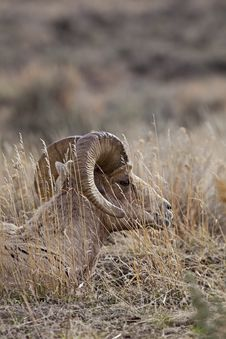 Free Big Horn Sheep Ram At Rest Royalty Free Stock Photos - 28580608