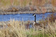 Free Canada Goose Royalty Free Stock Photos - 28580738