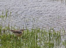 Free American Pipit In Wetland Royalty Free Stock Photo - 28580755