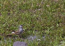 Free White-crowned Sparrow Zonotrichia Leucophrys Stock Image - 28580791