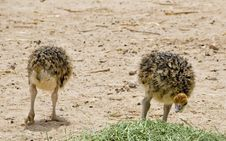 Free Just Hatched Chicks Of African Ostrich Royalty Free Stock Image - 28586166