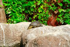 Free Yellow Brown Turtle With Long Neck Royalty Free Stock Image - 28587026