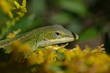 Free Garden Lizard Royalty Free Stock Image - 28593006