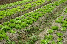 Free Vegetable Planting Stock Photo - 28593080