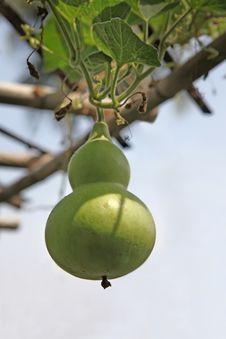Free Green Gourd - Lagenaria Siceraria Royalty Free Stock Image - 28595216