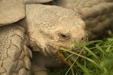 Portrait Of A Giant Tortoise. Stock Photos
