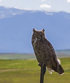 Free Great Horned Owl Portrait Royalty Free Stock Photo - 28596215
