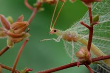Free A Lacewing Stock Images - 28597894