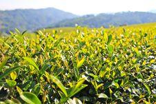 Free Green Tea Leaf. Royalty Free Stock Image - 28598546