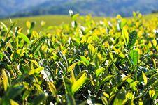 Free Green Tea Leaf. Stock Images - 28598584