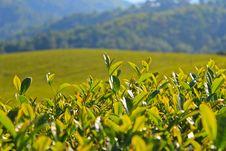Free Green Tea Leaf. Stock Images - 28598614