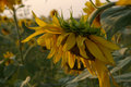 Free Sunflower Series Stock Photos - 2867783
