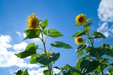 Free Sunflower In The Sun Royalty Free Stock Images - 2862759